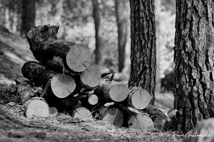 Cut logs stacked against two trees