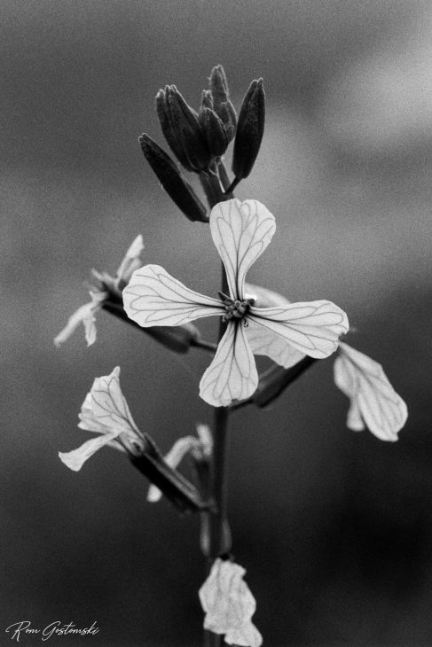 B&W photo shot on film. Macro shot of small wild Andalucian flower.