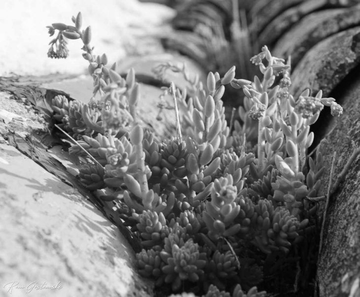 Black and white photo of succulents growing on old tiled roof
